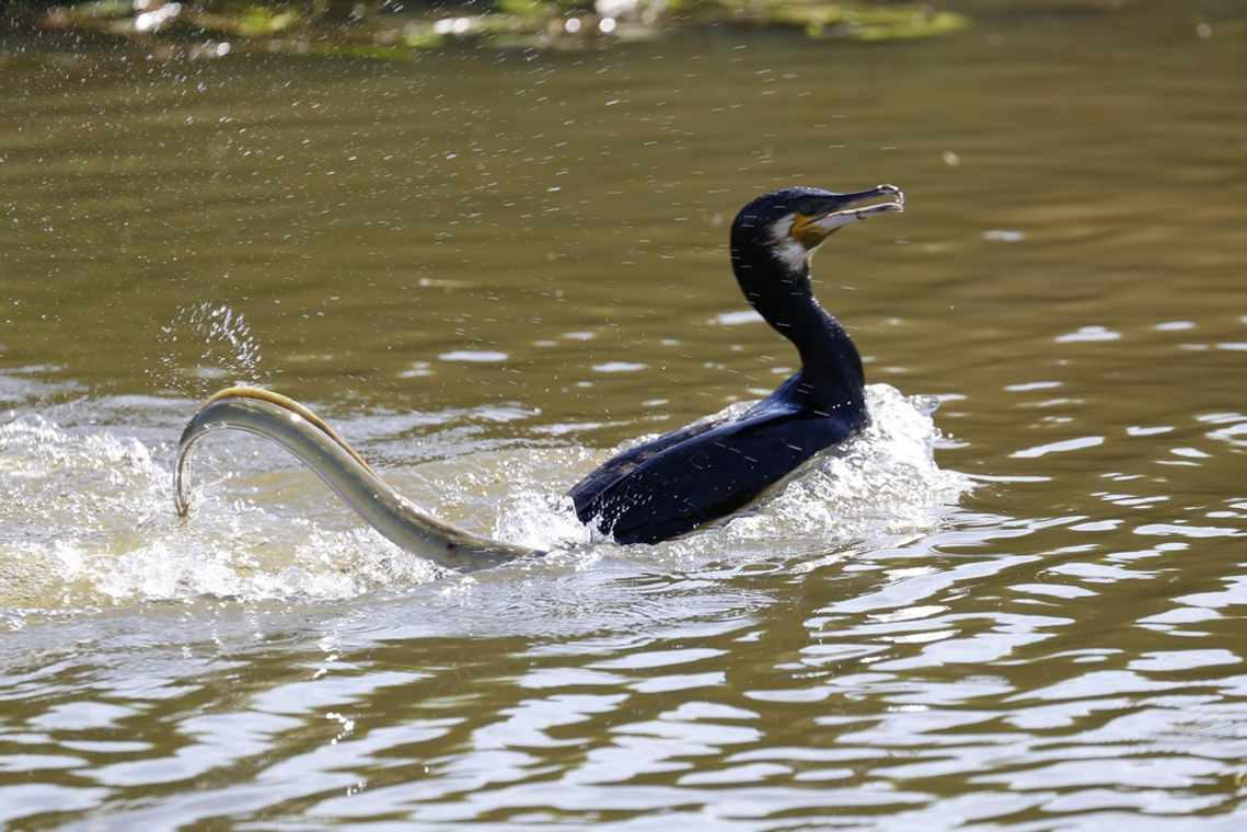 The moment an Eel gets revenge on a hungry Cormorant
